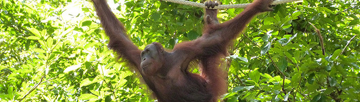 Un orang-outant à Bornéo